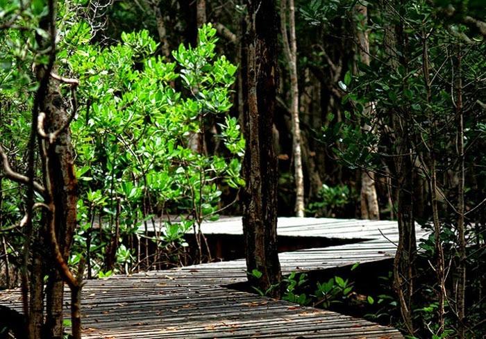 Hutan Mangrove Karimunjawa 2