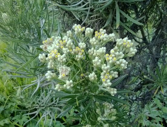 7 Tempat Menakjubkan Untuk Melihat Kecantikan Bunga Edelweis