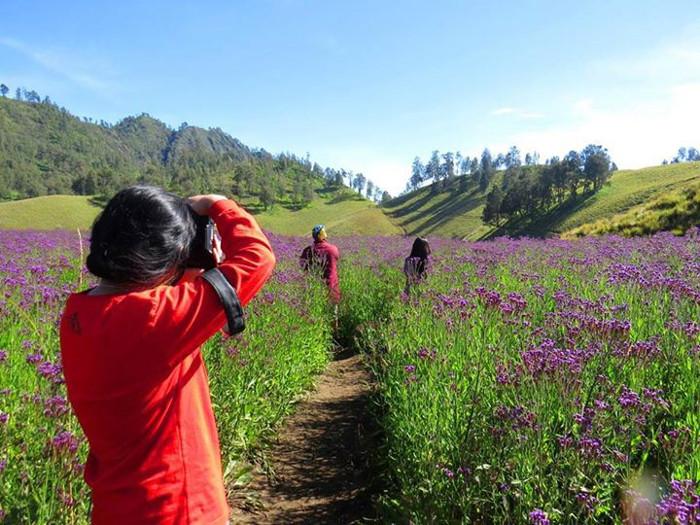 lavender semeru