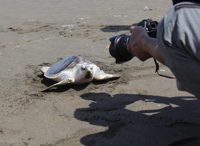 Pantai Ngagelan. Tempat Konservasi Penyu di Banyuwangi