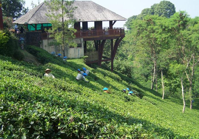 Menikmati Kesegaran Alam di Kebun Teh Wonosari, Malang