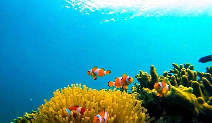 ikan nemo pulau pahawang