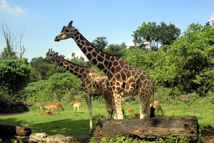 Wisata Bogor: Taman Safari Indonesia