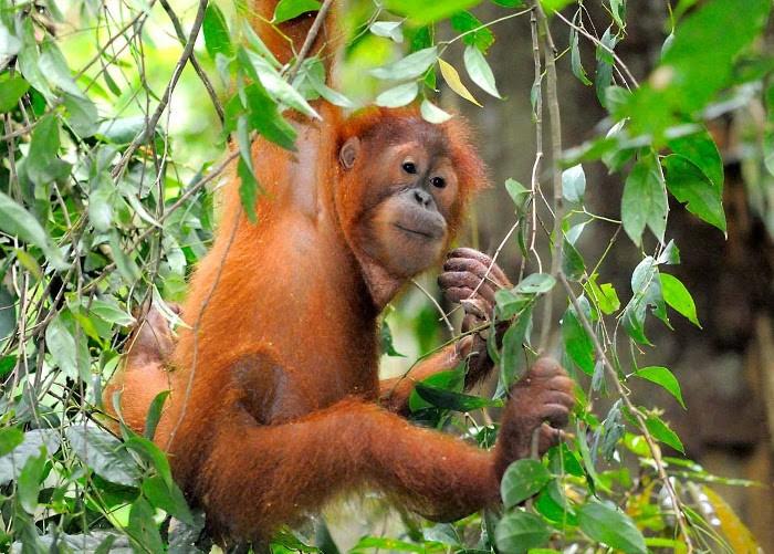 4 Taman Nasional Terbaik Indonesia Untuk Melihat Orangutan di Habitat Aslinya